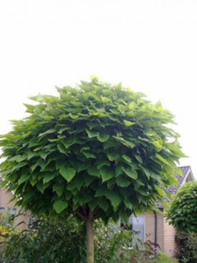 Waar kunt u mooie bomen online kopen?